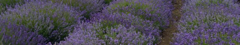cropped-lavender-2000x380.jpg